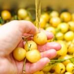 Cireşele sunt fructe cam perisabile. E bine să le spălaţi cu grijă.
